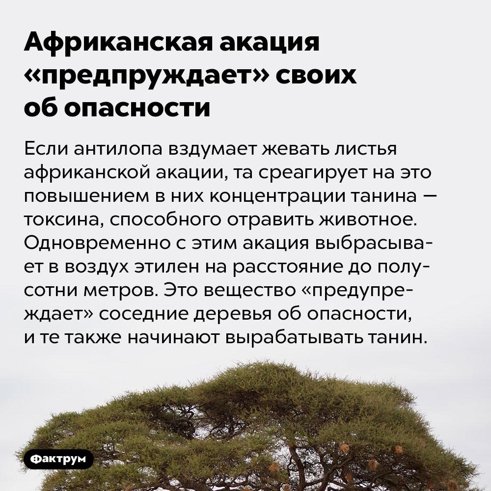 Африканская акация «предупреждает» своих обопасности. Если антилопа вздумает жевать листья африканской акации, та среагирует на это повышением в них концентрации танина — токсина, способного отравить животное. Одновременно с этим акация выбрасывает в воздух этилен на расстояние до полусотни метров. Это вещество «предупреждает» соседние деревья об опасности, и те также начинают вырабатывать танин.