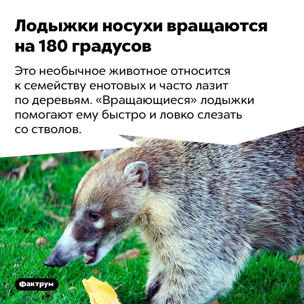 Лодыжки носухи вращаются на180градусов. Это необычное животное относится к семейству енотовых и часто лазит по деревьям. «Вращающиеся» лодыжки помогают ему быстро и ловко слезать со стволов.