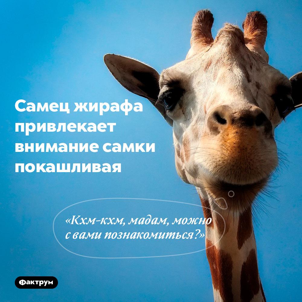 Самец жирафа привлекает внимание самки, покашливая. «Кхм-кхм, мадам, можно с вами познакомиться?»