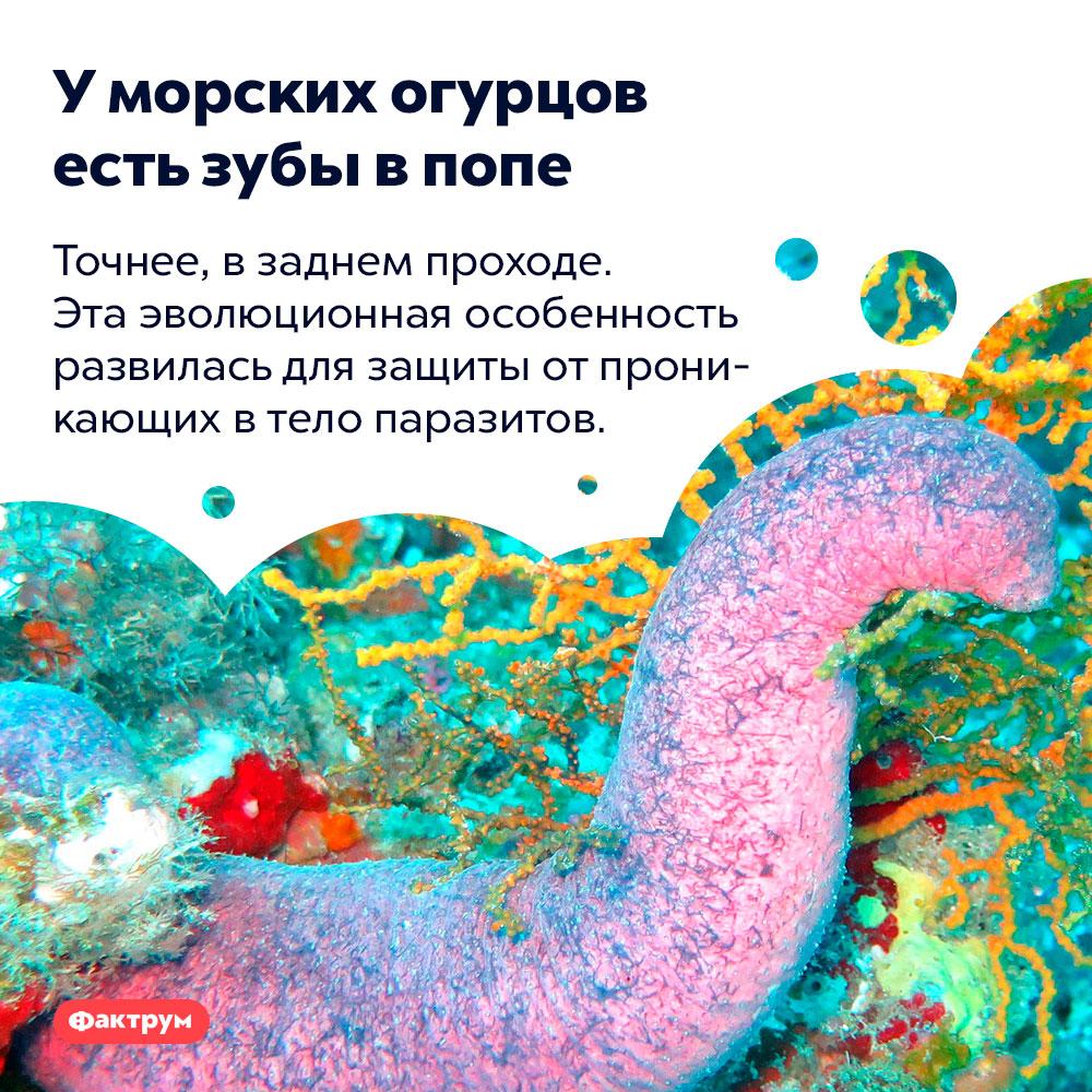 Уморских огурцов есть зубы впопе. Точнее, в заднем проходе. Эта эволюционная особенность развилась для защиты от проникающих в тело паразитов.