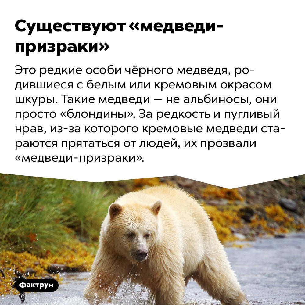 Существуют «медведи-призраки». Это редкие особи чёрного медведя, родившиеся с белым или кремовым окрасом шкуры. Такие медведи — не альбиносы, они просто «блондины». За редкость и пугливый нрав, из-за которого кремовые медведи стараются прятаться от людей, их прозвали «медведи-призраки».