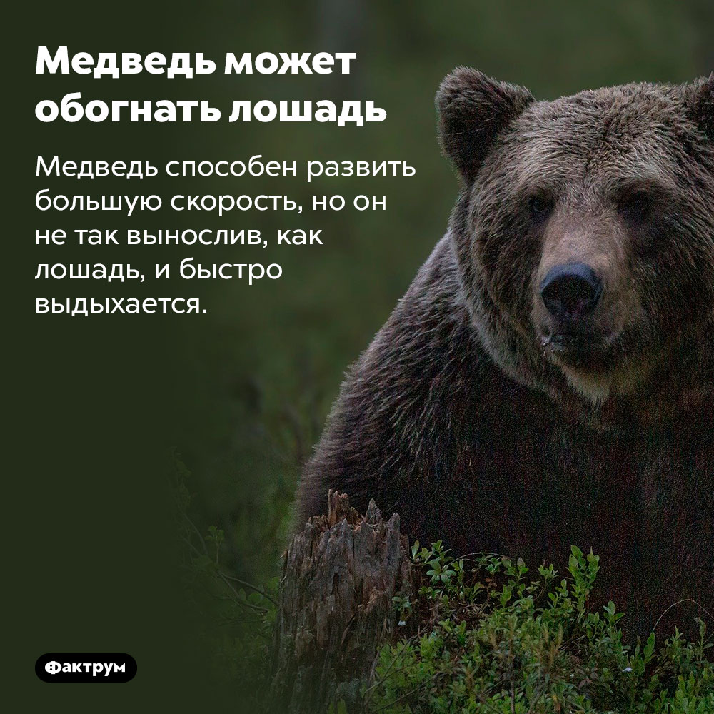 Медведь может обогнать лошадь. Медведь способен развить большую скорость, но он не так вынослив, как лошадь, и быстро выдыхается.