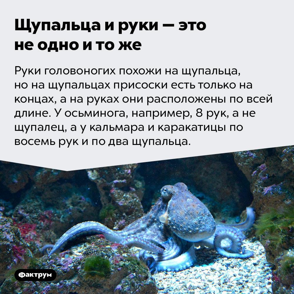 Щупальца ируки — это неодно итоже. Руки головоногих похожи на щупальца, но на щупальцах присоски есть только на концах, а на руках они расположены по всей длине. У осьминога, например, 8 рук, а не щупалец, а у кальмара и каракатицы по восемь рук и по два щупальца.