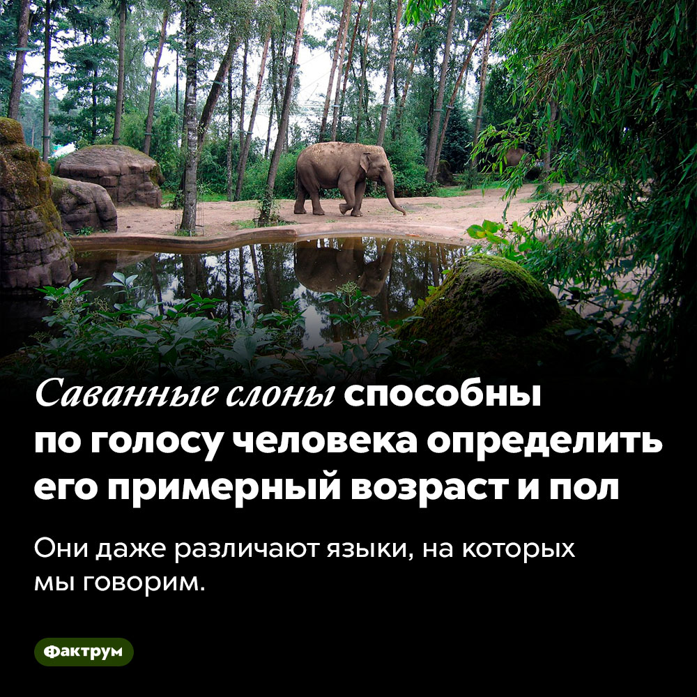 Саванные слоны способны поголосу человека определить его примерный возраст ипол. Они даже различают языки, на которых мы говорим.