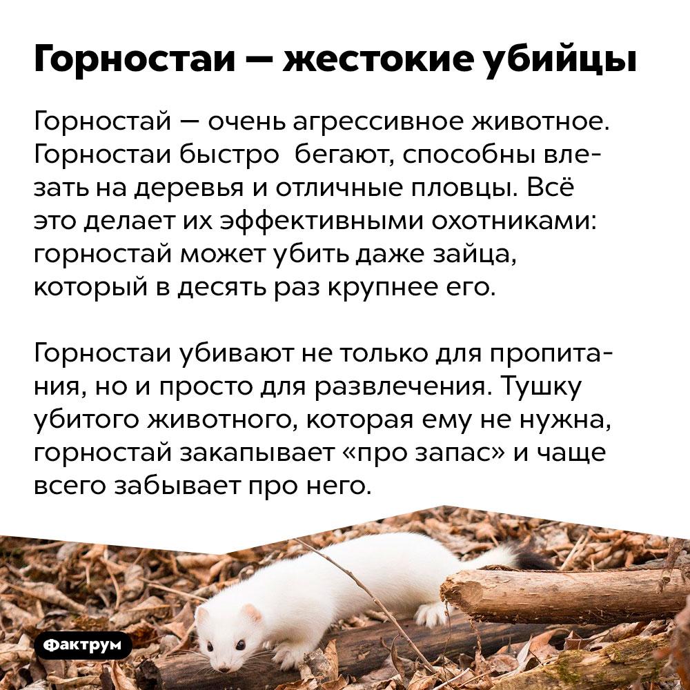 Горностаи — жестокие убийцы. Горностай — очень агрессивное животное. Горностаи быстро  бегают, способны влезать на деревья и отличные пловцы. Всё это делает их эффективными охотниками: горностай может убить даже зайца, который в десять раз крупнее его.  Горностаи убивают не только для пропитания, но и просто для развлечения. Тушку убитого животного, которая ему не нужна, горностай закапывает «про запас» и чаще всего забывает про него.