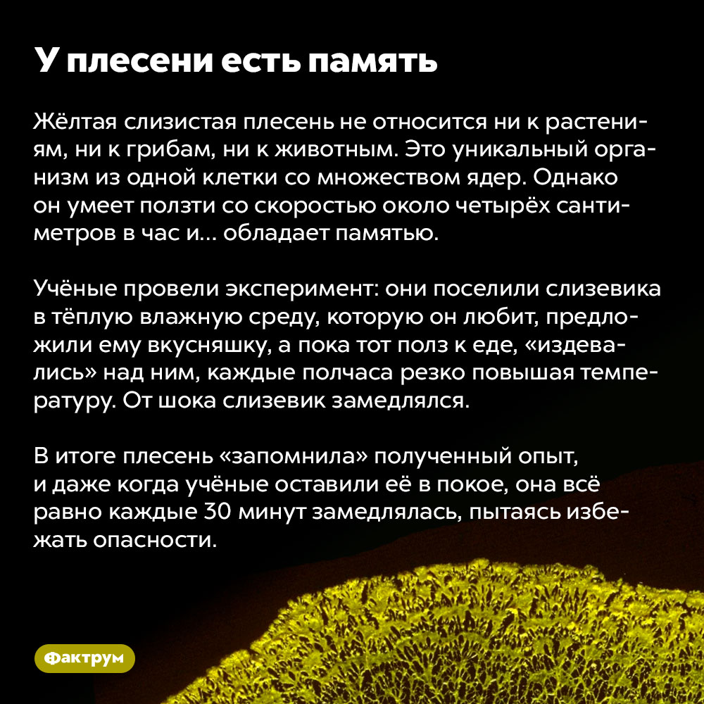 Уплесени есть память. Жёлтая слизистая плесень не относится ни к растениям, ни к грибам, ни к животным. Это уникальный организм из одной клетки со множеством ядер. Однако он умеет ползти со скоростью около четырёх сантиметров в час и… обладает памятью.  Учёные провели эксперимент: они поселили слизевика в тёплую влажную среду, которую он любит, предложили ему вкусняшку, а пока тот полз к еде, «издевались» над ним, каждые полчаса резко повышая температуру. От шока слизевик замедлялся.   В итоге плесень «запомнила» полученный опыт, и даже когда учёные оставили её в покое, она всё равно каждые 30 минут замедлялась, пытаясь избежать опасности.