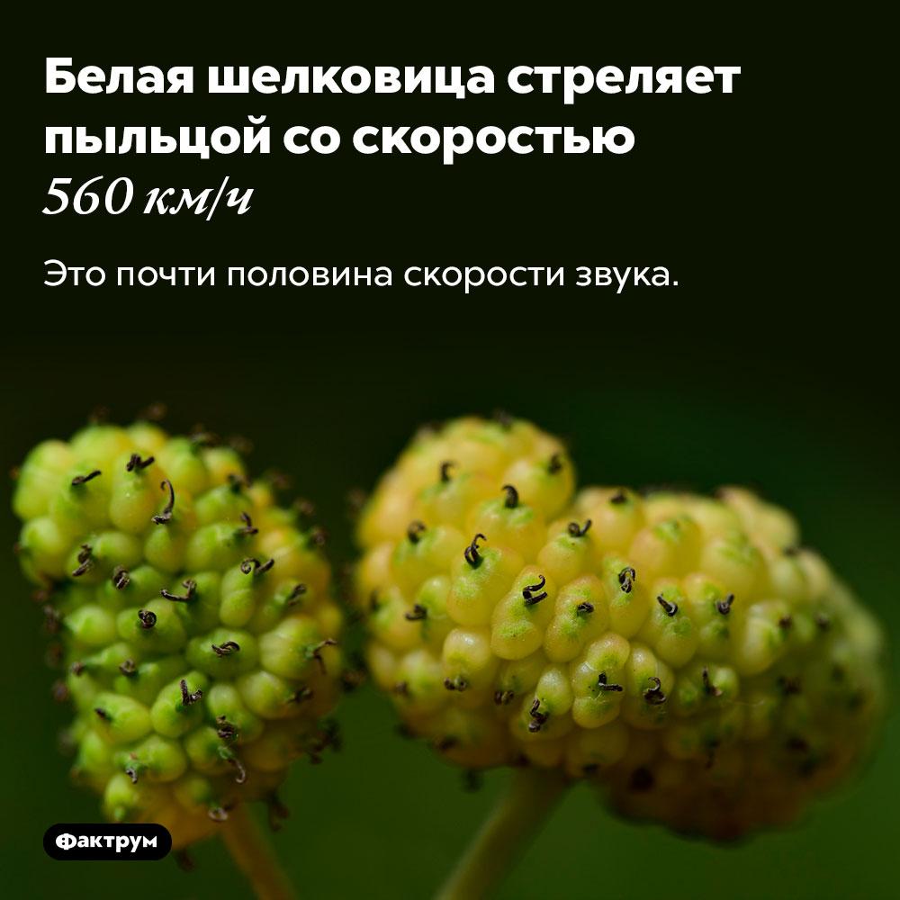 Белая шелковица стреляет пыльцой соскоростью 560км/ч. Это почти половина скорости звука.