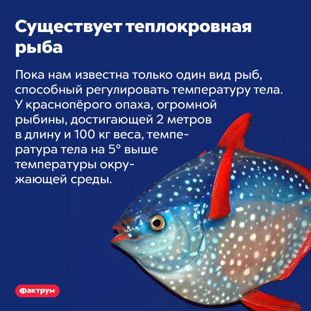 Существует теплокровная рыба. Пока нам известна только один вид рыб, способный регулировать температуру тела. У краснопёрого опаха, огромной рыбины, достигающей 2 метров в длину и 100 кг веса, температура тела на 5° выше температуры окружающей среды.