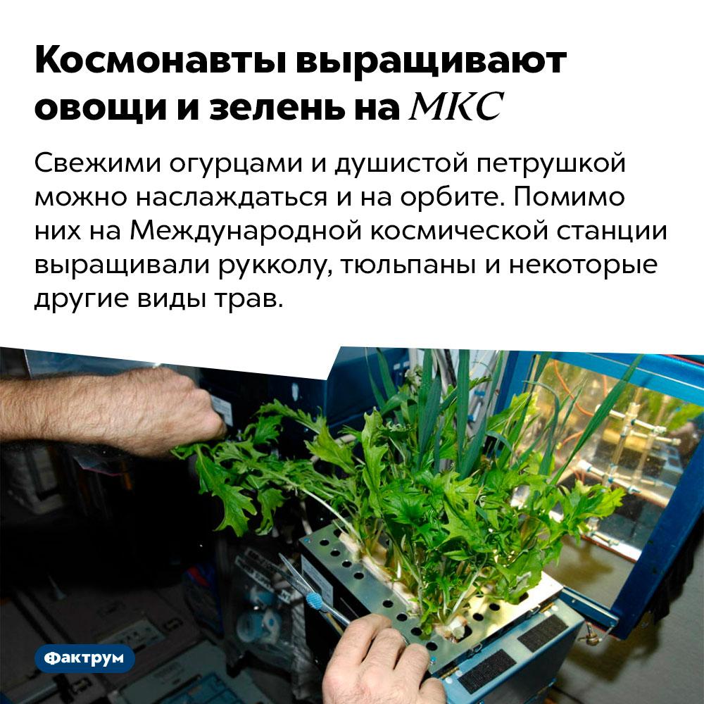 Космонавты выращивают овощи изелень наМКС. Свежими огурцами и душистой петрушкой можно наслаждаться и на орбите. Помимо них на Международной космической станции выращивали рукколу, тюльпаны и некоторые другие виды трав.