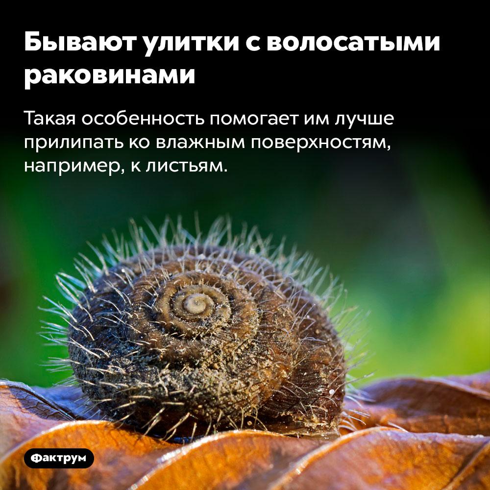 Бывают улитки сволосатыми раковинами. Такая особенность помогает им лучше прилипать ко влажным поверхностям, например, к листьям.
