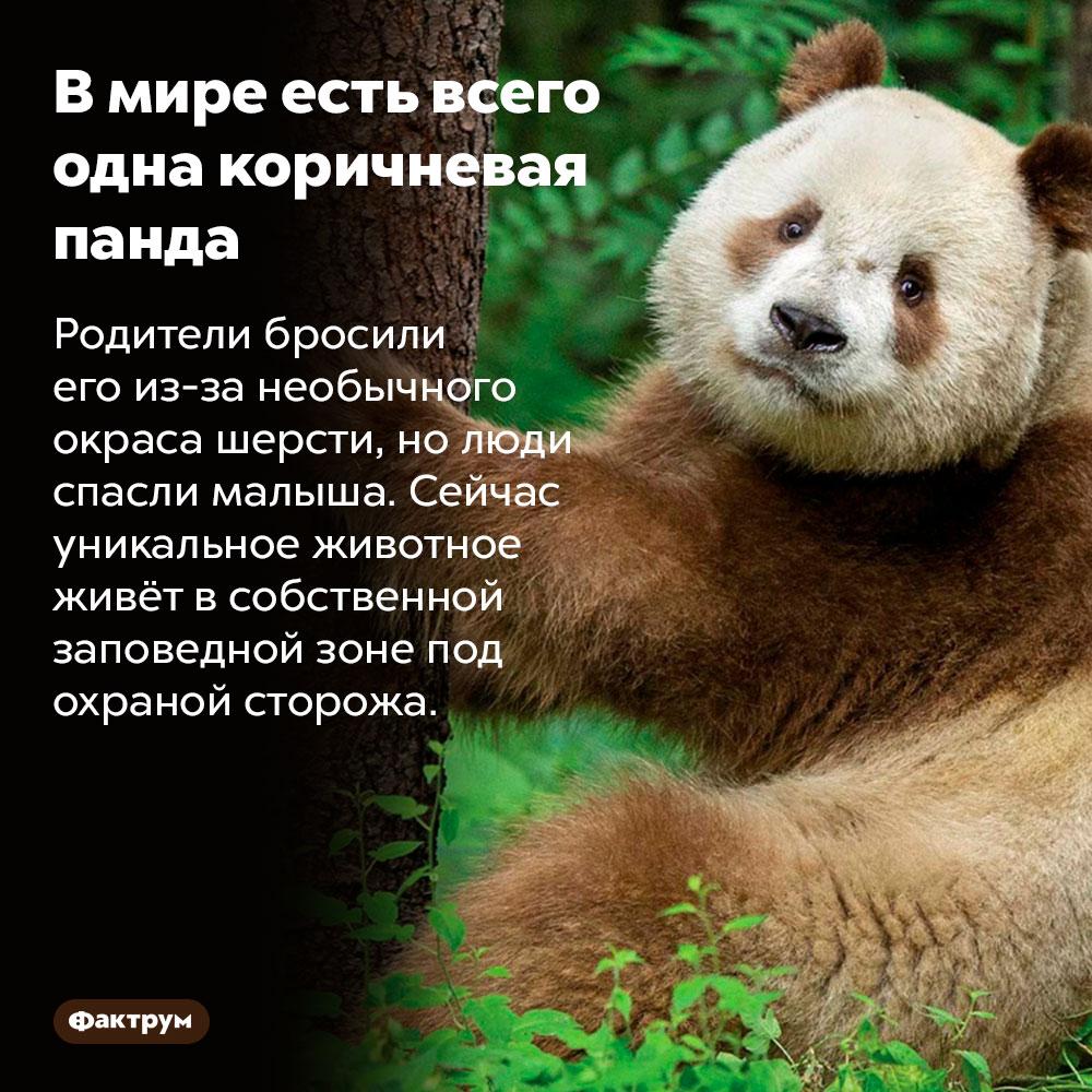 Вмире есть всего одна коричневая панда. Родители бросили его из-за необычного окраса шерсти, но люди спасли малыша. Сейчас уникальное животное живёт в собственной заповедной зоне под охраной сторожа.