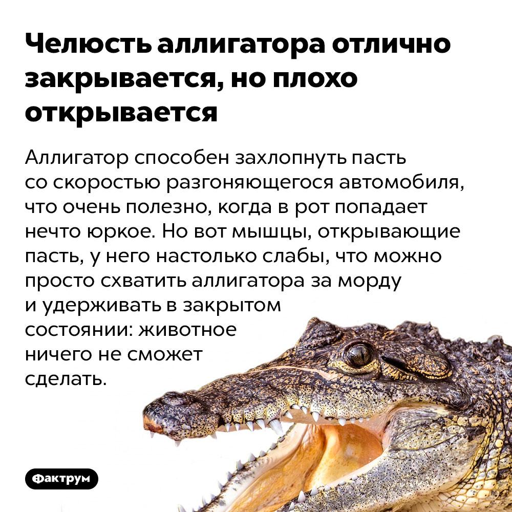 Челюсть аллигатора отлично закрывается, ноплохо открывается. Аллигатор способен захлопнуть пасть со скоростью разгоняющегося автомобиля, что очень полезно, когда в рот попадает нечто юркое. Но вот мышцы, открывающие пасть, у него настолько слабы, что можно просто схватить аллигатора за морду и удерживать в закрытом состоянии: животное ничего не сможет сделать.