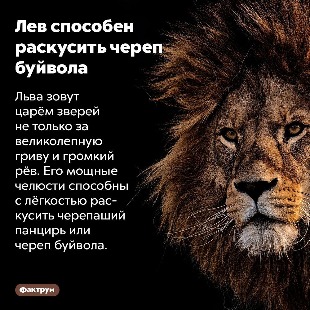 Лев способен раскусить череп. Льва зовут царём зверей не только за великолепную гриву и громкий рёв.  Его мощные челюсти способны с лёгкостью раскусить черепаший панцирь или череп буйвола.