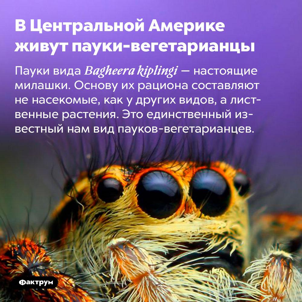 ВЦентральной Америке живут пауки-вегетарианцы. Пауки вида Bagheera kiplingi — настоящие милашки. Основу их рациона составляют не насекомые, как у других видов, а лиственные растения. Это единственный известный нам вид пауков-вегетарианцев.