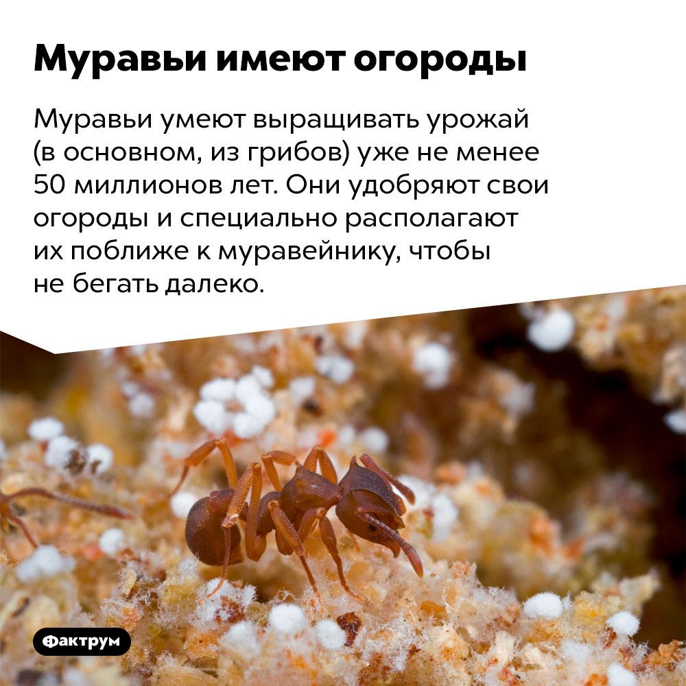 Муравьи имеют огороды. Муравьи умеют выращивать урожай (в основном, из грибов) уже не менее 50 миллионов лет. Они удобряют свои огороды и специально располагают их поближе к муравейнику, чтобы не бегать далеко.