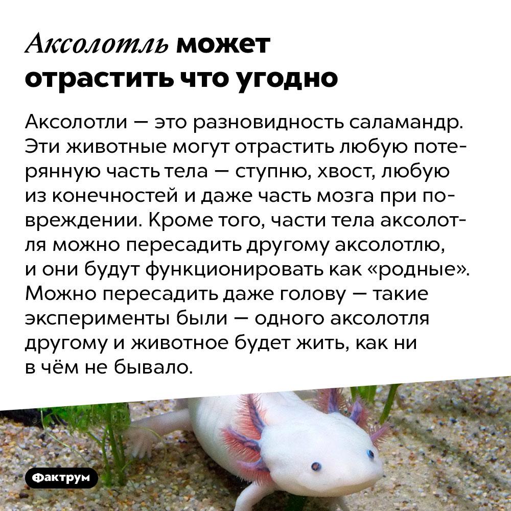 Аксолотль может отрастить что угодно. Аксолотли — это разновидность саламандр. Эти животные могут отрастить любую потерянную часть тела — ступню, хвост, любую из конечностей и даже часть мозга при повреждении. Кроме того, части тела аксолотля можно пересадить другому аксолотлю, и они будут функционировать как «родные». Можно пересадить даже голову — такие эксперименты были — одного аксолотля другому и животное будет жить, как ни в чём не бывало.