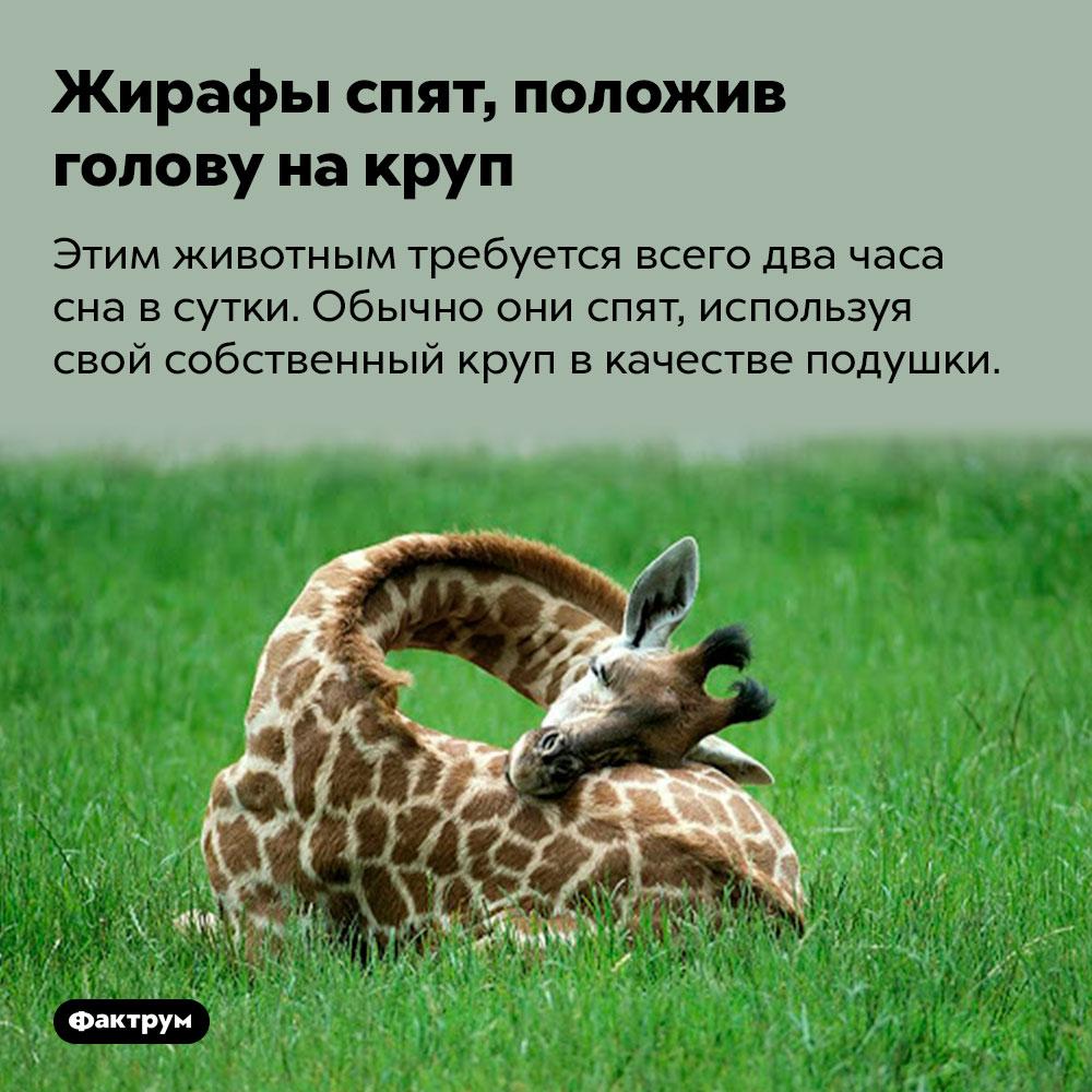 Жирафы спят, положив голову накруп. Этим животным требуется всего два часа сна в сутки. Обычно они спят, используя свой собственный круп в качестве подушки.
