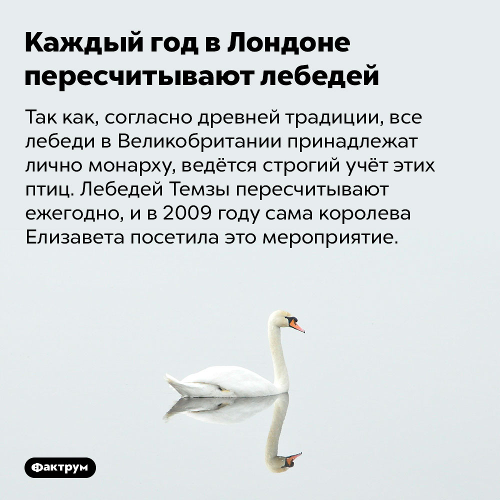 Каждый год вЛондоне пересчитывают лебедей. Так как, согласно древней традиции, все лебеди в Великобритании принадлежат лично монарху, ведётся строгий учёт этих птиц. Лебедей Темзы пересчитывают ежегодно, и в 2009 году сама королева Елизавета посетила это мероприятие.