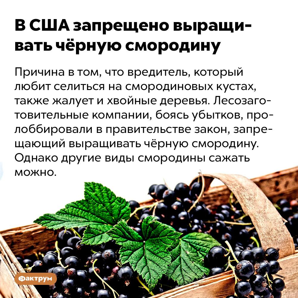 ВСША запрещено выращивать чёрную смородину. Причина в том, что вредитель, который любит селиться на смородиновых кустах, также жалует и хвойные деревья. Лесозаготовительные компании, боясь убытков, пролоббировали в правительстве закон, запрещающий выращивать чёрную смородину. Однако другие виды смородины сажать можно.