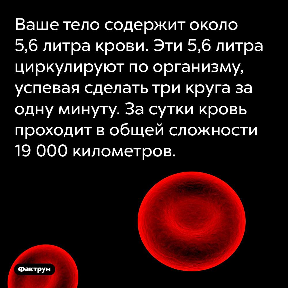 Ваше тело содержит около 5,6литра крови. Эти 5,6 литра циркулируют по организму, успевая сделать три круга за одну минуту. За сутки кровь проходит в общей сложности 19 000 километров.