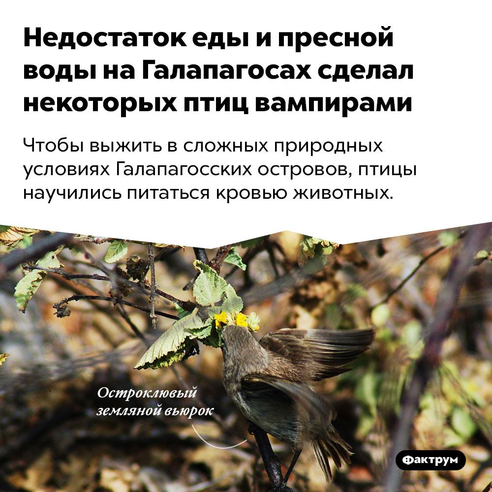 Недостаток еды ипресной воды наГалапагосах сделал некоторых птиц вампирами. Чтобы выжить в сложных природных условиях Галапагосских островов, птицы научились питаться кровью животных.