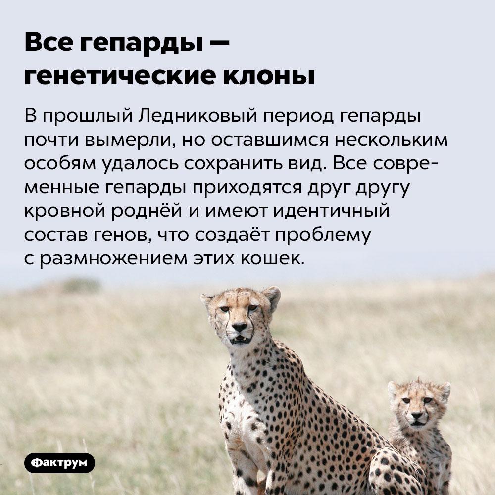Все гепарды — генетические клоны. В прошлый Ледниковый период гепарды почти вымерли, но оставшимся нескольким особям удалось сохранить вид. Все современные гепарды приходятся друг другу кровной роднёй и имеют идентичный состав генов, что создаёт проблему с размножением этих кошек.
