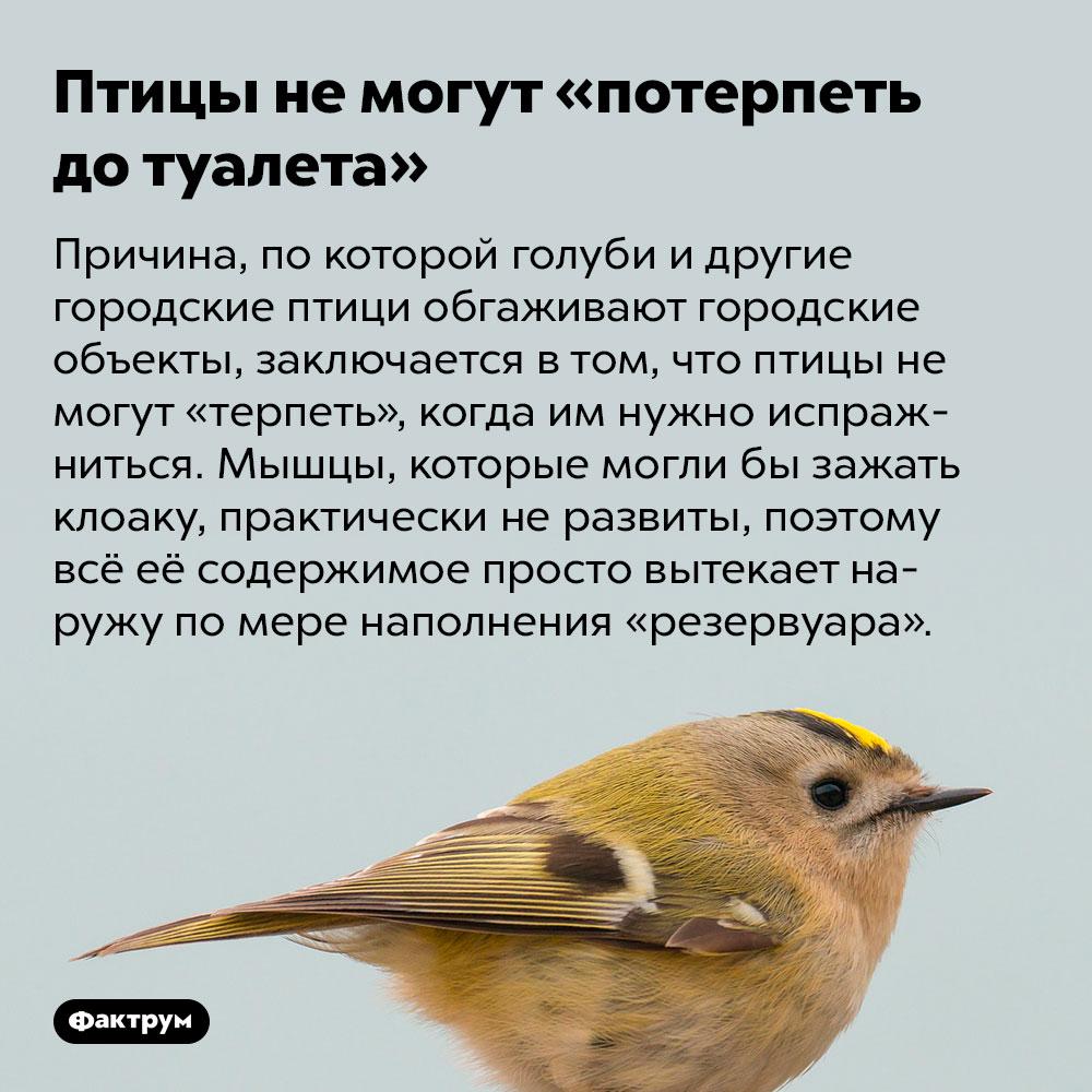 Птицы немогут «потерпеть дотуалета». Причина, по которой голуби и другие городские птици обгаживают городские объекты, заключается в том, что птицы не могут «терпеть», когда им нужно испражниться. Мышцы, которые могли бы зажать клоаку, практически не развиты, поэтому всё её содержимое просто вытекает наружу по мере наполнения «резервуара».
