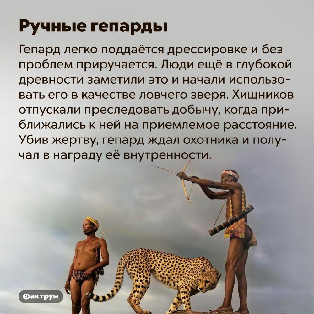 Ручные гепарды. Гепарды довольно легко приручаются и помогают людям в охоте ещё со времён Древнего Египта. Широкое распространение гепардовая охота имела в средние века у правителей Ближнего Востока. Хищников приучали держаться на лошади позади всадника и отпускали преследовать добычу, когда приближались к ней на приемлемое расстояние. Убив жертву, гепард ждал охотника и получал в награду её внутренности.