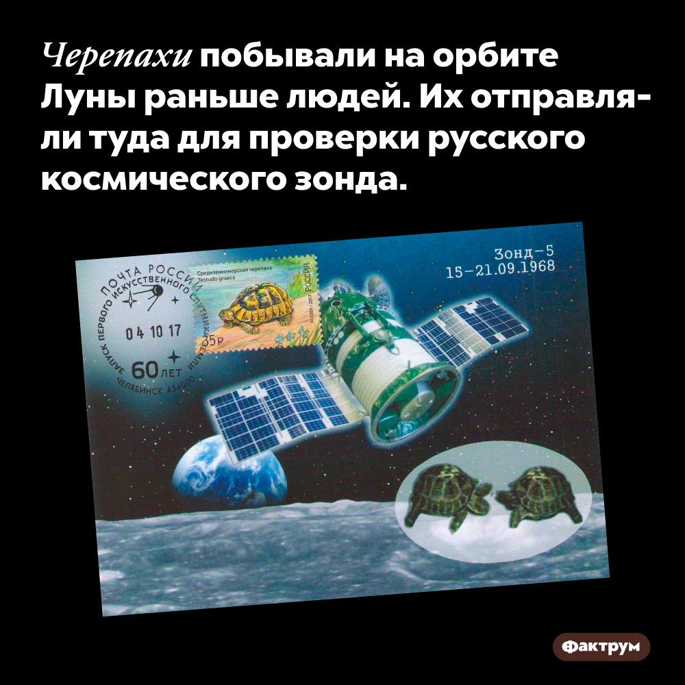 Черепахи побывали наорбите Луны раньше людей. Их отправляли туда для проверки русского космического зонда.