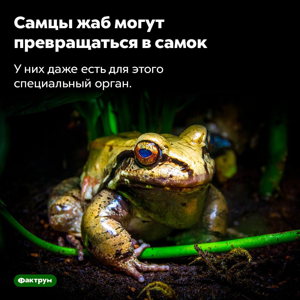 Самцы жаб могут превращаться всамок. У них даже есть для этого специальный орган.