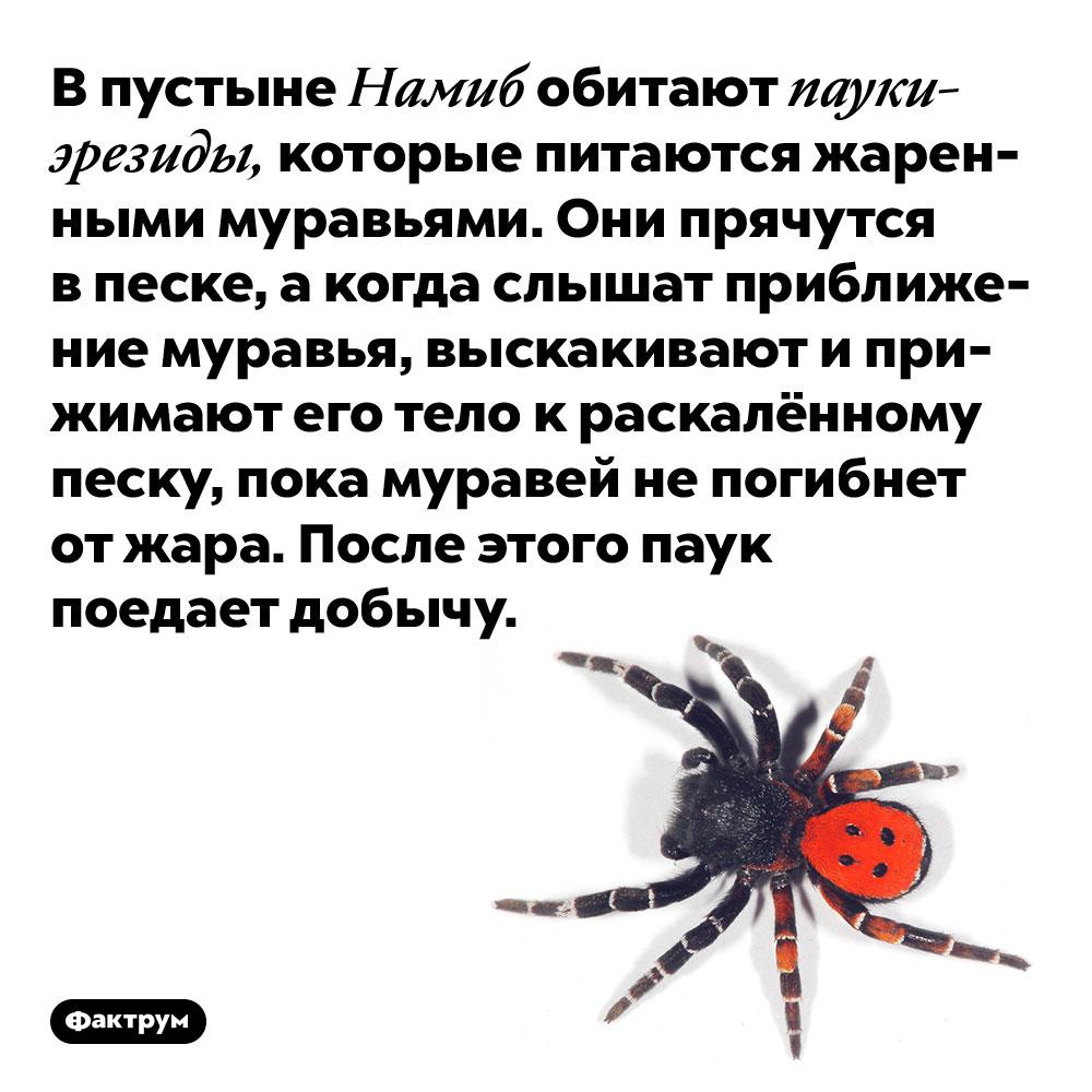 В пустыне Намиб обитают пауки-эрезиды, которые питаются жаренными муравьями. Они прячутся в песке, а когда слышат приближение муравья, выскакивают и прижимают его тело к раскалённому песку, пока муравей не погибнет от жара. После этого паук поедает добычу.