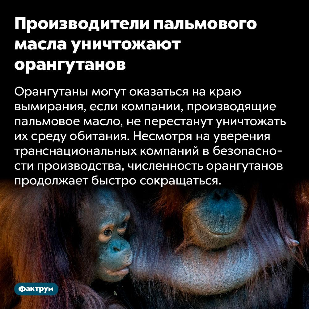 Производители пальмового масла уничтожают орангутанов. Орангутаны могут оказаться на краю вымирания, если компании, производящие пальмовое масло, не перестанут уничтожать их среду обитания. Несмотря на уверения транснациональных компаний в безопасности производства, численность орангутанов продолжает быстро сокращаться.