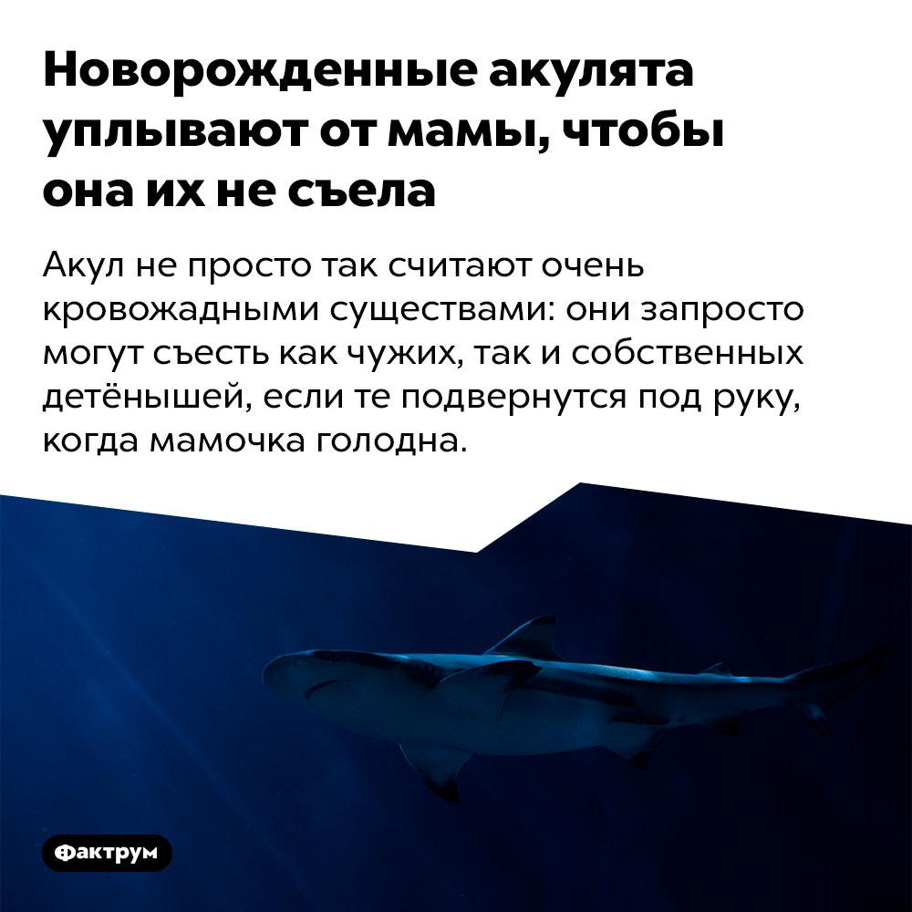 Новорожденные акулята уплывают от мамы, чтобы она их не съела. Акул не просто так считают очень кровожадными существами: они запросто могут съесть как чужих, так и собственных детёнышей, если те подвернутся под руку, когда мамочка голодна.