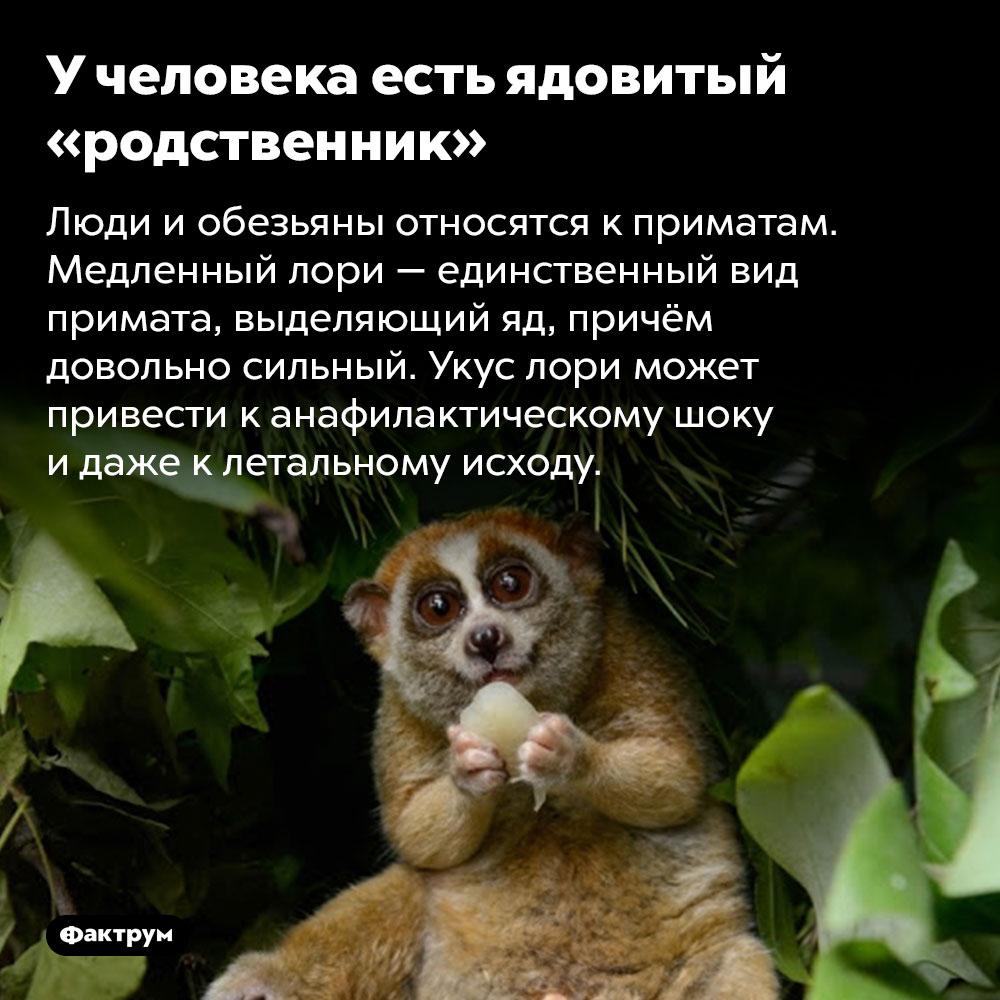 У человека есть ядовитый «родственник». Люди и обезьяны относятся к приматам. Медленный лори — единственный вид примата, выделяющий яд, причём довольно сильный. Укус лори может привести к анафилактическому шоку и даже к летальному исходу.
