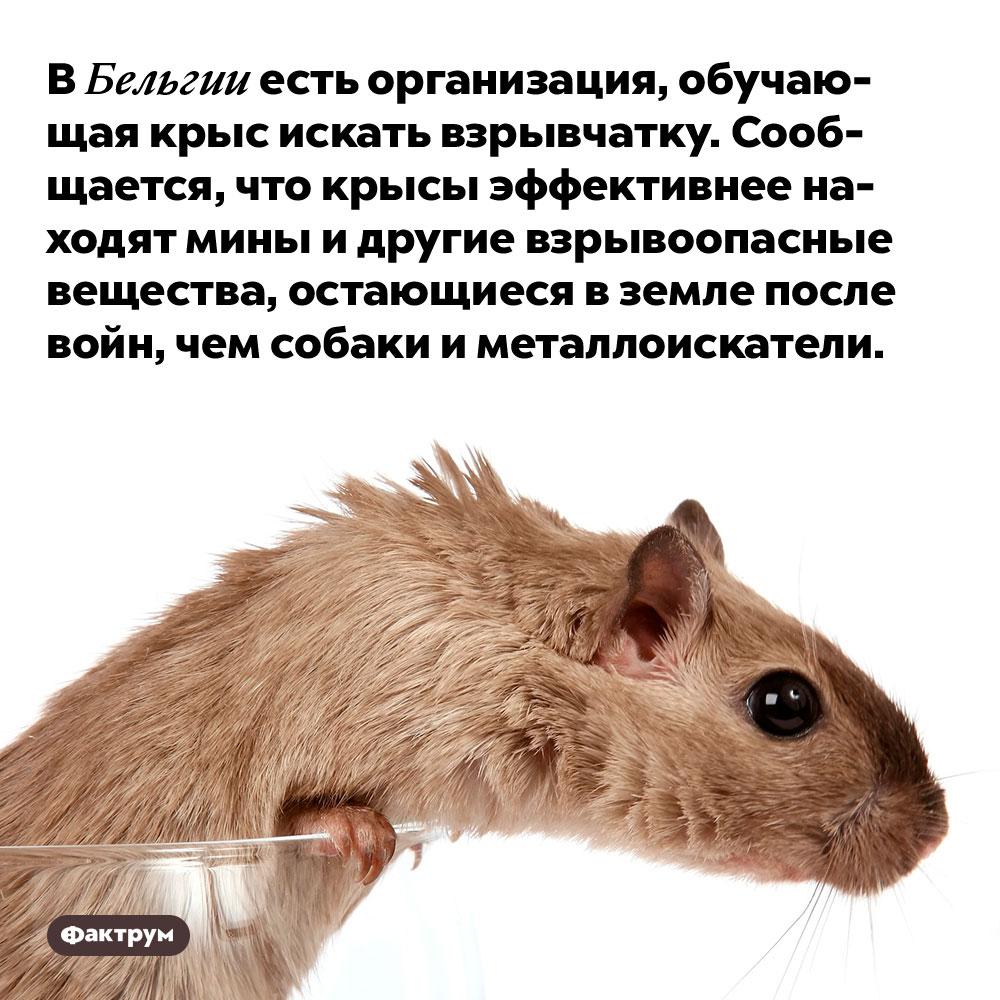 ВБельгии есть организация, обучающая крыс искать взрывчатку. Сообщается, что крысы эффективнее находят мины и другие взрывоопасные вещества, остающиеся в земле после войн, чем собаки и металлоискатели.