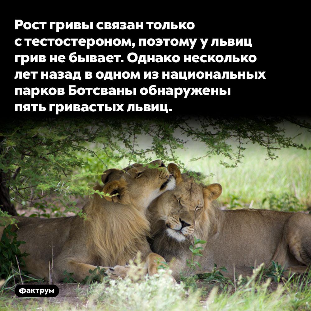 Рост гривы связан только стестостероном, поэтому ульвиц грив небывает. Однако несколько лет назад в одном из национальных парков Ботсваны обнаружены пять гривастых львиц.