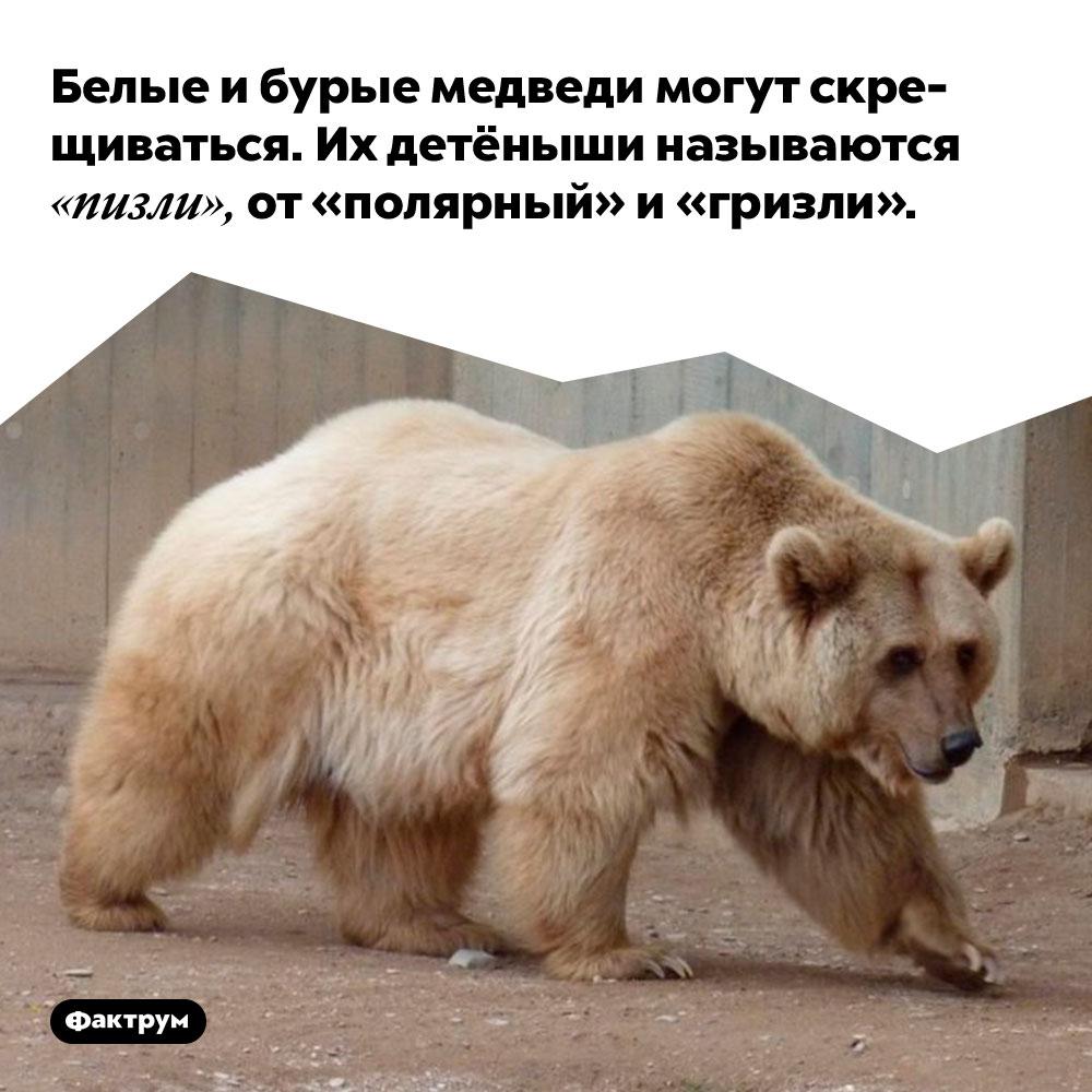 Белые и бурые медведи могут скрещиваться. Их детёныши называются «пизли», от «полярный» и «гризли».