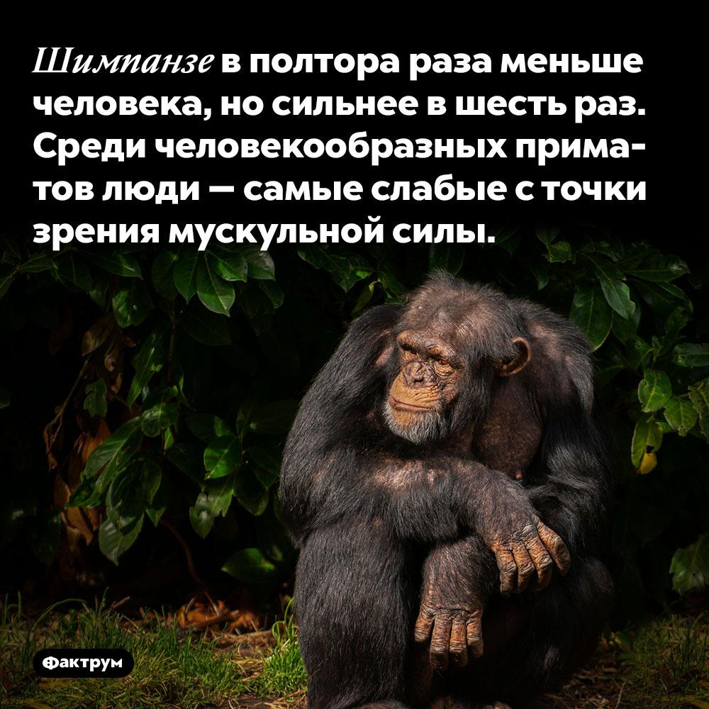 Шимпанзе в полтора раза меньше человека, но сильнее в шесть раз. Среди человекообразных приматов люди — самые слабые с точки зрения мускульной силы.