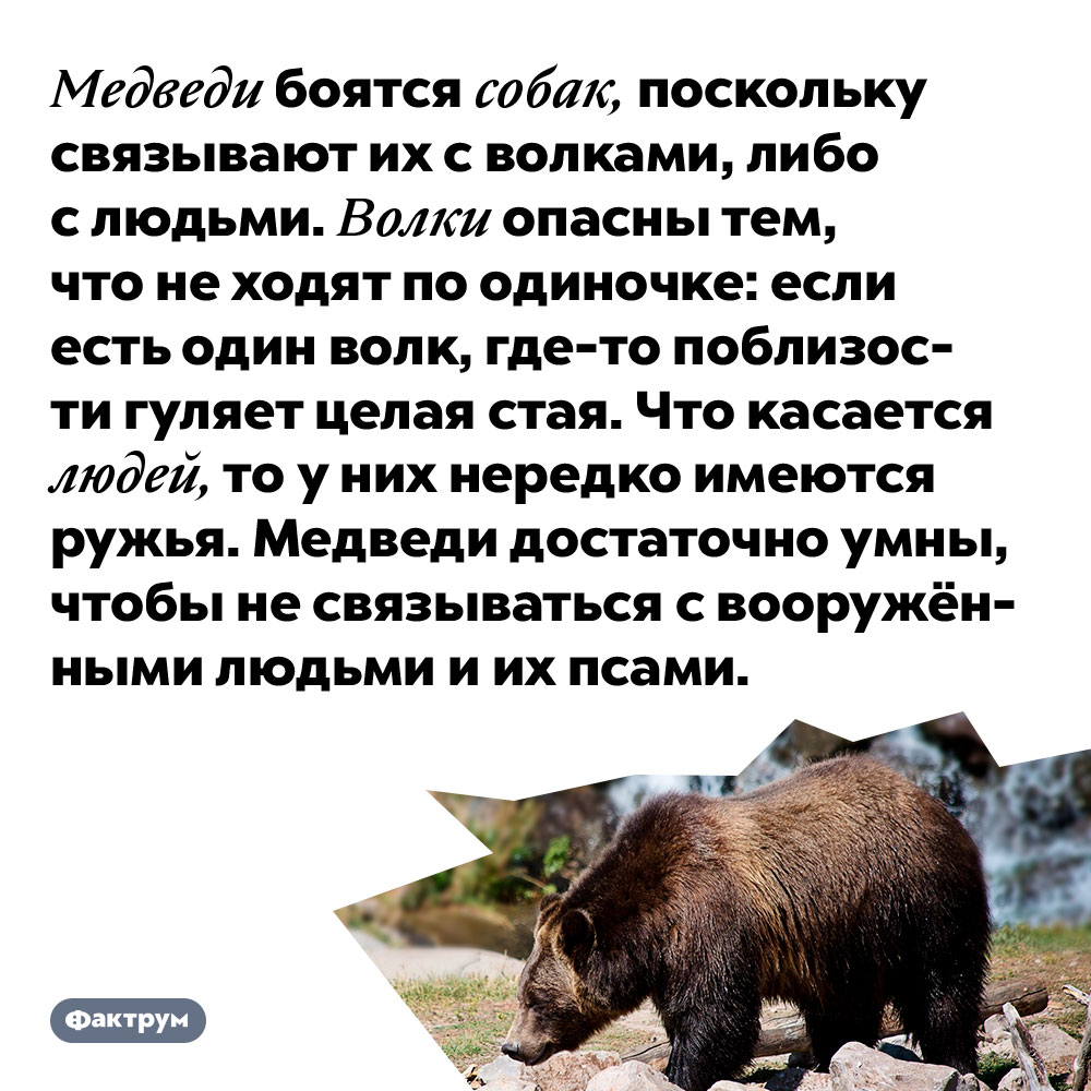 Медведи боятся собак, поскольку связывают их с волками, либо с людьми. Волки опасны тем, что не ходят по одиночке: если есть один волк, где-то поблизости гуляет целая стая. Что касается людей, то у них нередко имеются ружья. Медведи достаточно умны, чтобы не связываться с вооружёнными людьми и их псами.