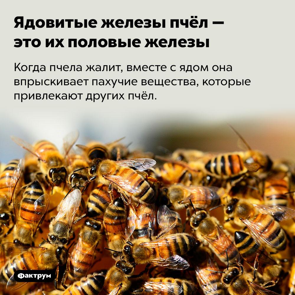 Ядовитые железы пчёл — это их половые железы. Когда пчела жалит, вместе с ядом она впрыскивает пахучие вещества, которые привлекают других пчёл.