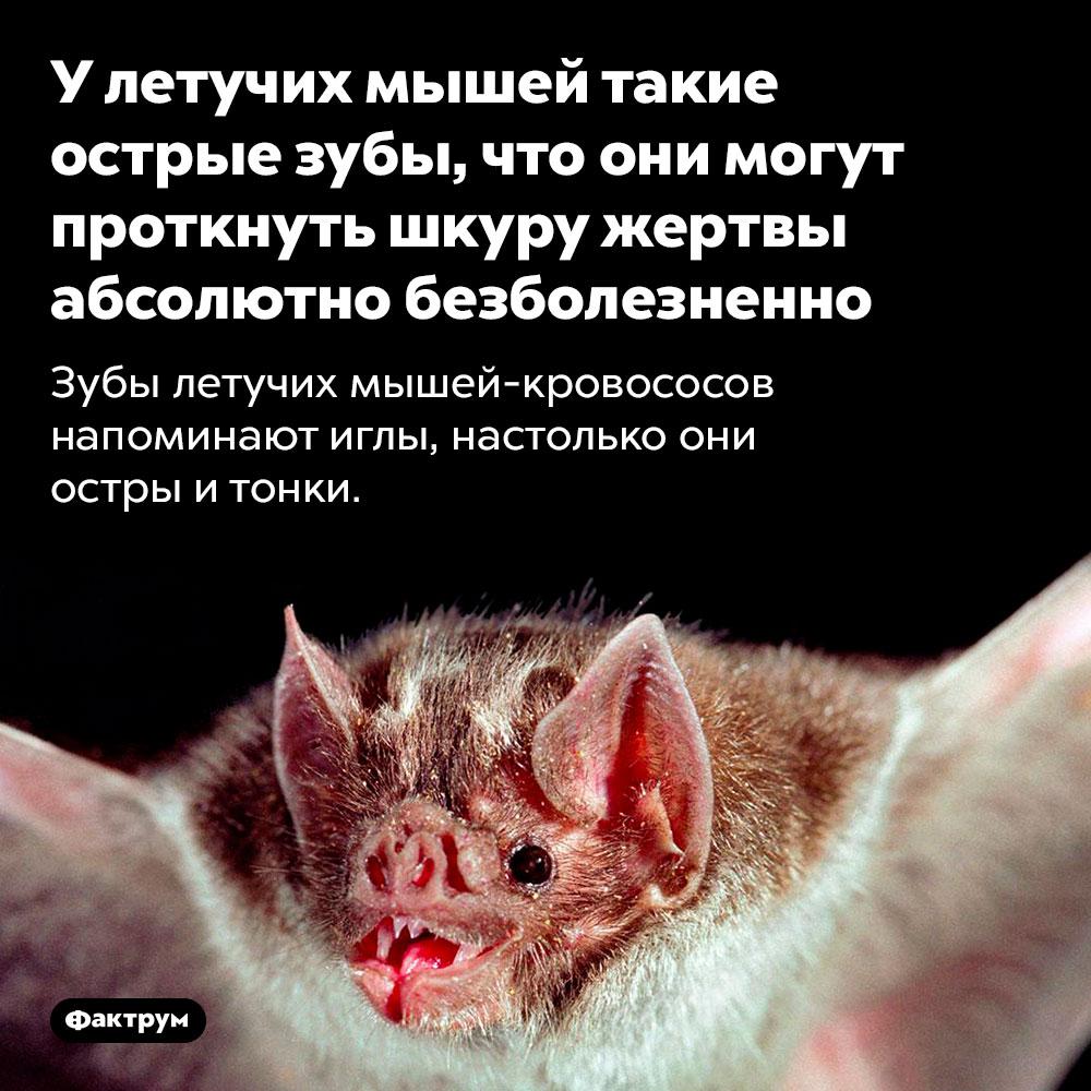 У летучих мышей такие острые зубы, что они могут проткнуть шкуру жертвы абсолютно безболезненно. Зубы летучих мышей-кровососов напоминают иглы, настолько они остры и тонки.