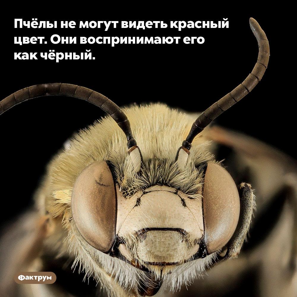 Пчёлы не могут видеть красный цвет. Они воспринимают его как чёрный.