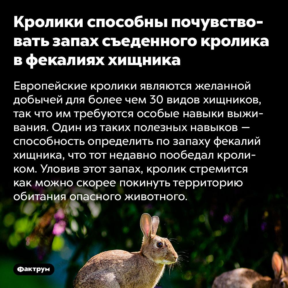 Кролики способны почувствовать запах съеденного кролика в фекалиях хищника. Европейские кролики являются желанной добычей для более чем 30 видов хищников, так что им требуются особые навыки выживания. Один из таких полезных навыков — способность определить по запаху фекалий хищника, что тот недавно пообедал кроликом. Уловив этот запах, кролик стремится как можно скорее покинуть территорию обитания опасного животного.