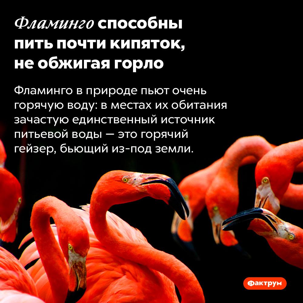 Фламинго способны пить почти кипяток, необжигая горло. Фламинго в природе пьют очень горячую воду: в местах их обитания зачастую единственный источник питьевой воды — это горячий гейзер, бьющий из-под земли.