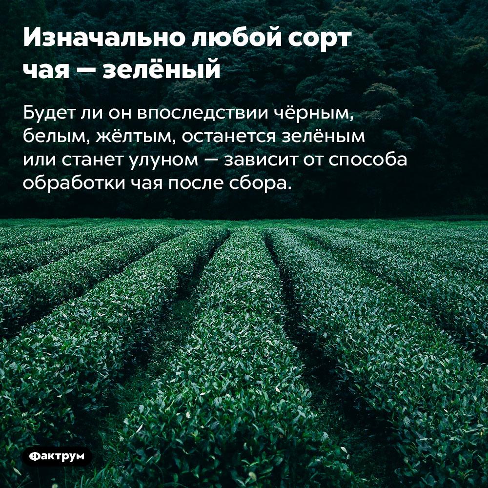 Изначально любой сорт чая — зелёный. Будет ли он впоследствии чёрным, белым, жёлтым, останется зелёным или станет улуном — зависит от способа обработки чая после сбора.