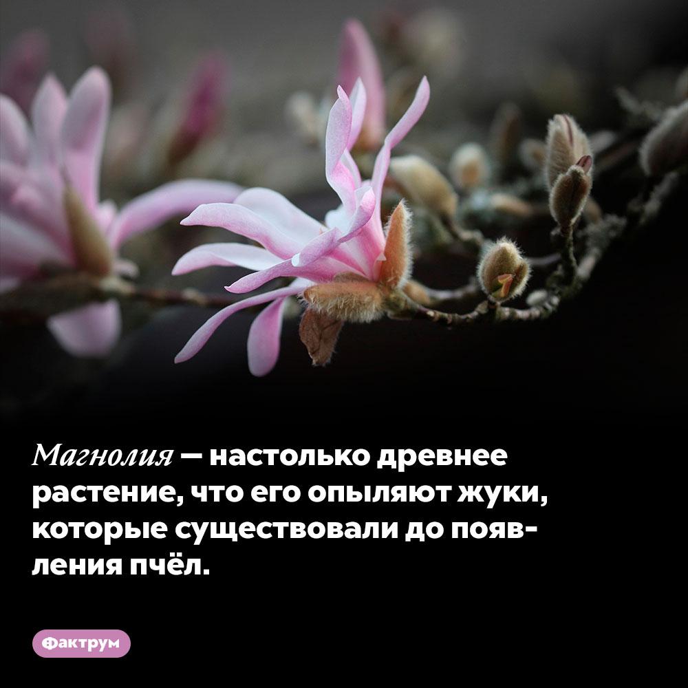 Магнолия — настолько древнее растение, что его опыляют жуки, которые существовали до появления пчёл.
