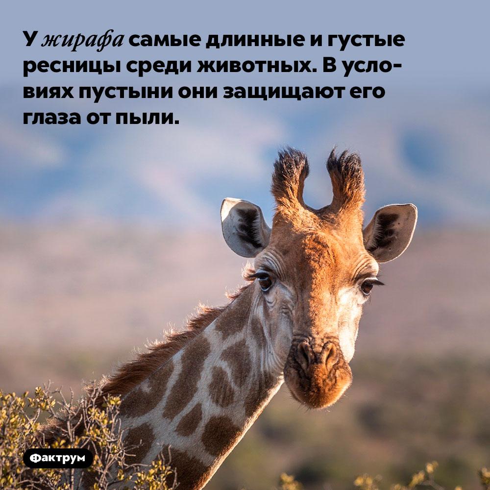У жирафа самые длинные игустые ресницы среди животных. В условиях пустыни они защищают его глаза от пыли.