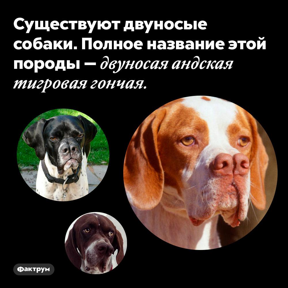 Существуют двуносые собаки. Полное название этой породы — двуносая андская тигровая гончая.