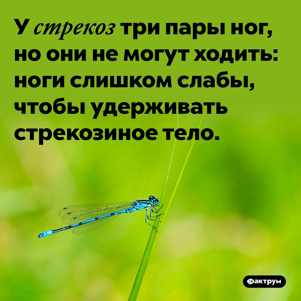 У стрекоз три пары ног, но они не могут ходить. Ноги слишком слабы, чтобы удерживать стрекозиное тело.