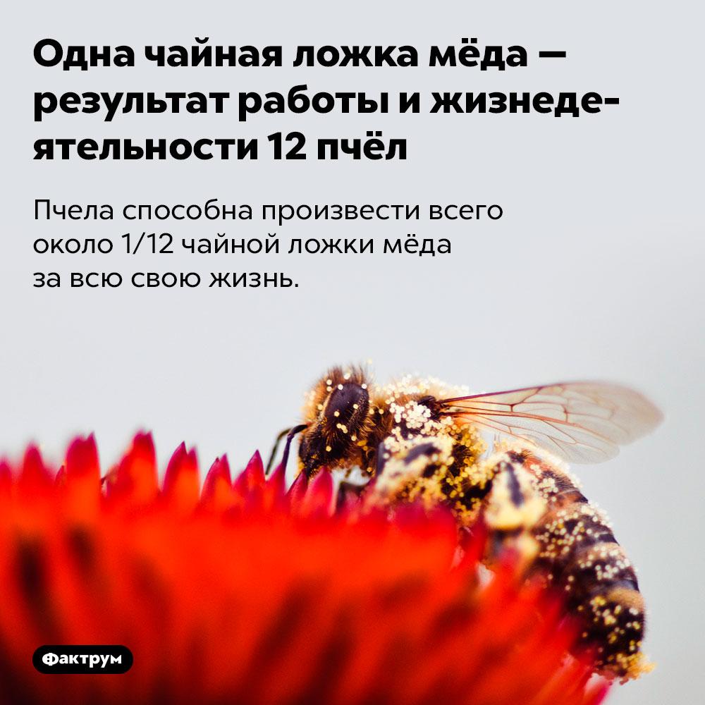 Одна чайная ложка мёда — результат работы ижизнедеятельности12пчёл. Пчела способна произвести всего около 1/12 чайной ложки мёда за всю свою жизнь.